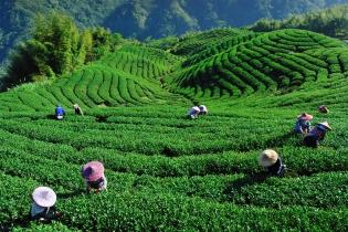 Страны, в которых можно увидеть, как растет чай