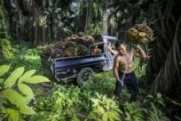 Как делают пальмовое масло икчему приводит его производство