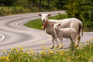 Овцы-экскурсоводы водят туристов по Норвегии