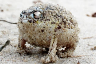 Самая злобная пустынная лягушка, чей рев абсолютно ужасающий