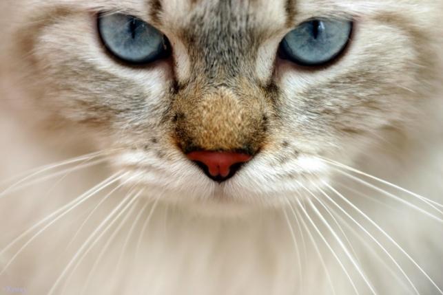 14 пород кошек со всего света