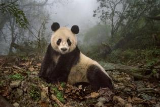 Как готовят панд к жизни в дикой природе