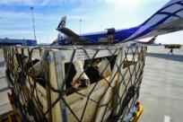 Как перевезти в самолете корову, лыжи, контрабас