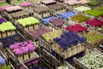 Как работает голландский рынок цветов