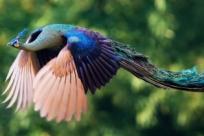 Великолепные летающие павлины