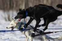 Адская гонка на собачьих упряжках