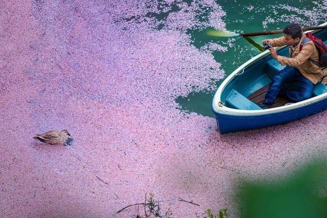 15 волшебных фотографий цветения сакуры в Японии