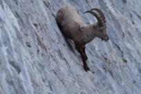 Невероятная способность альпийских козлов
