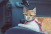 7 вещей для путешествия с кошкой на автомобиле